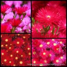 Pigface Deep Red x 1 Succulents Groundcover Plants Flowering Hanging Baskets Rockery Pots Hardy Drought Frost Mesembryanthemum crystallinum