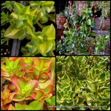 3 Types of Crassula sarmentosa x 6 Plants Rare Green, Variegated, medio picta Reverse Showy Trailing Jade Succulents Plants Hanging Baskets Groundcover Patio Balcony