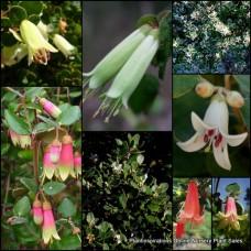 Correa x 8 - Native Fuchsia - Random Mixed Pack - 4 Types - Australian Native Shrubs Flowering Evergreen Plants Hedge Border Groundcover Rockery Hardy Tough