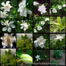 Gardenia x 8  Plants 3 Types Fragrant White Double Flowering Cottage Garden Plants Shade Shrubs Hedge Scented Patio Balcony Pot