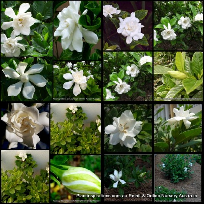 8 Gardenia Plants 3 Types Scented Flowers White Cottage Garden Shade Shrub Hedge Perfume