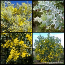 Acacia Queensland Silver Wattle x 1 Australian Native Plants Shrubs Yellow Flowering Hedge Hardy Drought Frost podalyriifolia