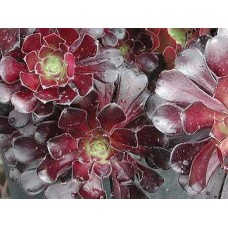 Aeonium Schwartzkopf Black Rose x 1 Purple succulent-plants 60mm pot arboreum zwartkop beauty head tree Garden Shrubs Rosette atropurpureum manriqueorum