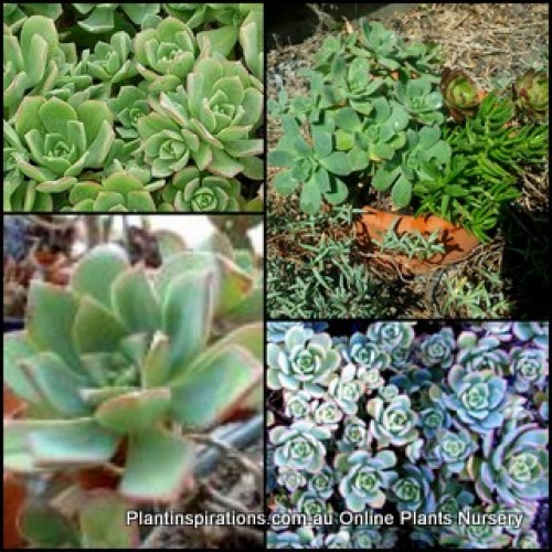 Aeonium haworthii Pinwheel x 1 Succulent Plants Hardy Rockery Balcony Patio Pot White Flowering Hanging Basket pot Border Shrubs Rosette