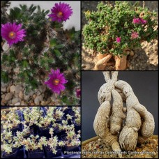African Bonsai x 1 Trichodiadema bulbosum Succulents Plants Pink/violet/purple Flowering caudiciform pachycaul Hanging Baskets Rockery Pot Hardy