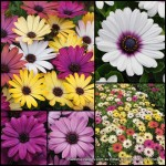 African Daisy x 8 Akila Grand Canyon Mixed Flowering Colors Groundcover shrubs Plants Hardy Osteospermum ecklonis Daisies Cottage Garden