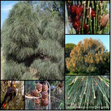 Mixed Sheoak x 8 Plants 3 Types Allocasuarina casuarina Hardy Native Trees She Oak Australian Pines Bird Attracting