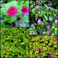 Aptenia Pink/purple Baby Sun Rose x 1 Heartleaf Iceplant Groundcover Succulents Desert Sunrose Hanging Basket Heartfelt Flowering Mesembryanthemum cordifolium