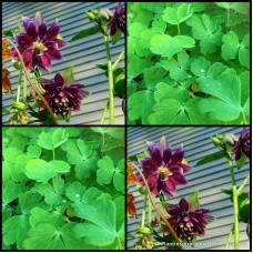 Aquilegia Columbine Christa Barlow x 15 Cottage Garden Plants Purple Flowering Rockery Pots Perennial vulgaris