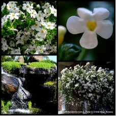 Bacopa Snowtopia x 1 White Flowering Hanging Basket Groundcover Cascading Rockery Plants Sutera cordata Cottage Garden Shrubs