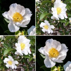 Camellia sasanqua Cleopatra White x 4 Scented Flowers Frost Resistant Shrubs Hedge Topiary Bonsai Cottage Garden Plants