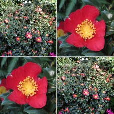 Camellia sasanqua Yuletide x 4 Red Scented Flowers Frost Resistant Shrubs Hedge Topiary Bonsai Cottage Garden Plants
