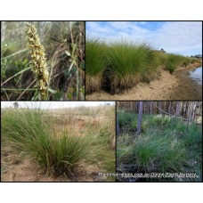 Tall Sedge Grasses x 5 Native Wet Dry Pond Bog Plants Grass Hardy Evergreen Carex appressa Flowering Foiiage Border Garden