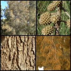 River Sheoak x 1 Casuarina cunninghamiana Australian Native Trees Plants Evergreen Swamp Hardy Drought Frost