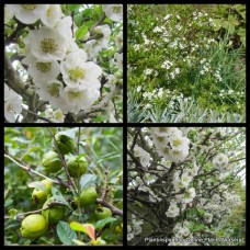 Chaenomeles speciosa nivalis White Flowering Chinese Quince White Deciduous Plants Hedging Screening shrubs