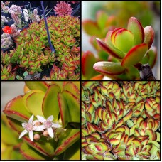 Crassula ovata Red Edge x 1 Succulents Jade Plants Hanging Basket Bonsai Rockery Pots Indoors Flowering Hardy Drought White flowering