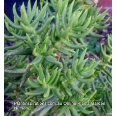 Chinese Pine Crassula tetragona x 1 Miniature Pine Trees. Very Hardy Succulents Plants Bonsai Rockery Pots Flowering Drought Frost Resistant
