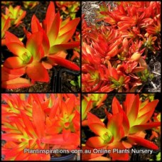 Crassula Campfire x 1 Red Orange leaf Succulents Hanging Basket Rockery Balcony Patio Pot Flame White Flowering capitella Blaze Groundcover