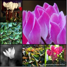 Cyclamen Mixed Pack x 8 Random 3 Types Cottage Garden Shade Plants Flowering Rockery Pots Hardy Frost persicum