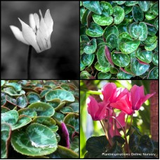 Cyclamen Sierra Mixed x 1 Cottage Garden Shade Plants Flowering Rockery Pots Hardy Frost persicum Standard
