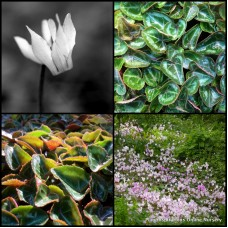 Cyclamen Winfall Mixed x 8 Cottage Garden Shade Plants Flowering Rockery Pots Indoors Hardy Frost Mini persicum