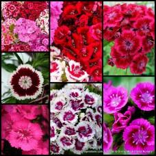 Dianthus Barbarini Mix x 1 Scented Flowering Cottage Garden Plants Shrubs Carnation Border Rockery Pots Hardy Frost Tough barbatus