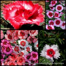Dianthus Super Parfait Mixed x 15 Scented Flowering Cottage Garden Plants Shrubs Carnation Border Rockery Pots Hardy Frost Tough chinensis