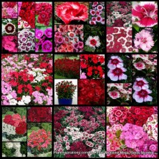 Dianthus Mixed Pack x 12 Cottage Garden Plants 3 Types Flowering Shrubs Carnation Border Rockery Pots Hardy Frost Tough barbatus chinensis