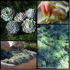 Mexican Snowball x 1 Succulents Rosette Plants Bonbonniere Bomboniere Wedding Favours Gifts Pink Flowers Echeveria elegans