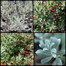 Eremophila Emu Bush Red Desert x 1 Australian Native Shrubs Plants Red Flowering Groundcover Hedge Hardy Drought glabra decipiens