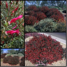 Eremophila maculata var. brevifolia x 1 Emu Bush Australian Native Plants Shrubs Red Flowering Hedge Hardy Drought