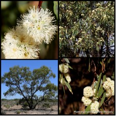 Eucalyptus microcarpa Western Grey Box Gum x 8 Australian Native Trees Hardy White Flowering Timber Firewood Plants Hardy Drought Frost