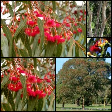 Eucalyptus leucoxylon rosea x 5 Red Flowering Yellow Gum Hardy Native Trees Plants Bush Bird Attracting Evergreen Drought Tough