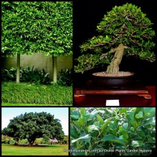 Ficus Emerald Green x 1 Indoor Native Pot Plants Evergreen Hardy Patio Balcony Fig Tree microcarpa hillii Trees
