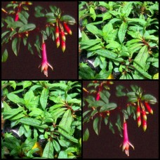 Fuchsia Fanfare x 1 Shade Garden Plants Tall Growing White Pink Flowering Patio Balcony Fernery denticulata boliviana Fuschia Flowers