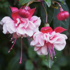 Fuchsia RAF Royal Air Force x 1 Shade Plants Trailing Cascading Hanging Basket White Crimson Double Flowers Garden Patio Pots Fuschia