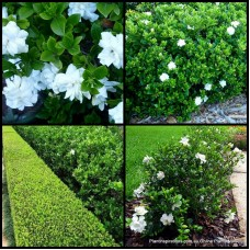 Gardenia Professor Pucci x 5 Fragrant Scented White Double Flowering Tall Cottage Garden Pot Plants Shrubs Hedge Shade Hardy augusta