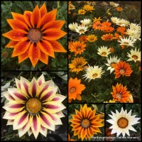 Gazania Big Kiss Mix x 15 Hardy Tough Flowering Plants Drought Frost Survivors Groundcover Cottage Garden Pots Border Colourful Perennial Xeriscape rigens