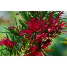 Grevillea Scarlet Sprite x 1 Dwarf Native Garden Plants Hardy Red deep Pink Flowering Shrubs Rockery Hedging Hedge