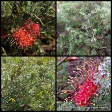 Grevillea Seaspray x 1 Red Flowering Hardy Native Garden Plants Shrubs Bush Groundcover Drought Frost Tough Bird Attracting Evergreen preissii glabrilimba