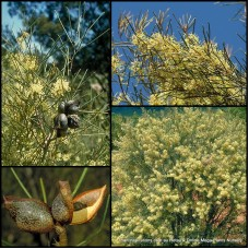 Hakea Hooked Needlewood x 1 Australian Native Garden Plants Shrubs Hedge Cream Flowering Nuts Bird Attracting Hardy Drought Frost Tough tephrosperma