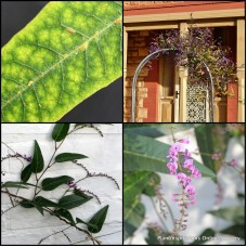Hardenbergia violacea Rosea x 1 Pink Coral Pea Native Sarsaparilla Australian Vines Climbing Garden Plants Hardy Drought Frost