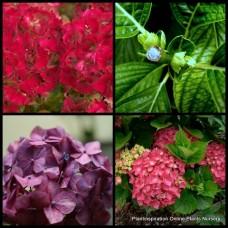 Hydrangea Leuchtfeuer Red x 5 Plants macrophylla Mophead Hardy Cottage Garden Shrubs Large Flowers Border Patio Balcony