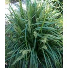 Lomandra longifolia x 5 Spiny Headed Long Leaf Mat Rush Grasses Water Pond Plants Bird Attracting Border Pots Shade Erosion Control Hardy Drought Frost Tough