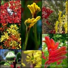 Kangaroo Paw x 7 Mixed Plants Pack 3 Types Anigozanthos Paws Hardy Native Grasses Garden