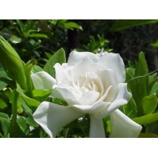 Gardenia Florida x 5 Fragrant Scented White Double Flowering Cottage Garden Plants Shrubs Hedge Pots Shade Asian Hardy augusta jasminoides