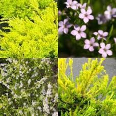 Diosma x 1 - Golden - Coleonema pulchrum aurea - Pink Flowering Garden Plants Shrubs Scented Hedge Hardy Tough
