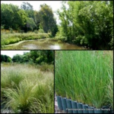 Tussock Grass x 1 Native Garden Plant Poa lab Grass Fast Hardy Grasses labillardieri Tough