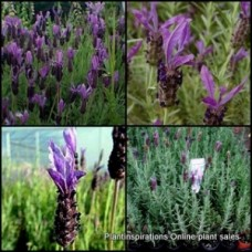 Lavender Avonview x 5 Italian Herbs Scented Purple Flowering Shrubs Bush Cottage Garden Hedge Border Rockery Evergreen Hardy Drought Frost Lavandula stoechas