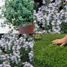 Thyme x 1 Thymus vulgaris Herb Hardy Pink flowering Groundcover Plants Cottage Garden.
